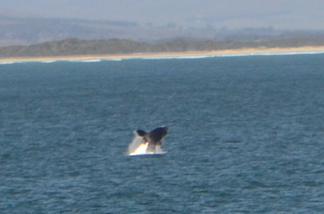 Whale-watching in Hermanus, South Africa!